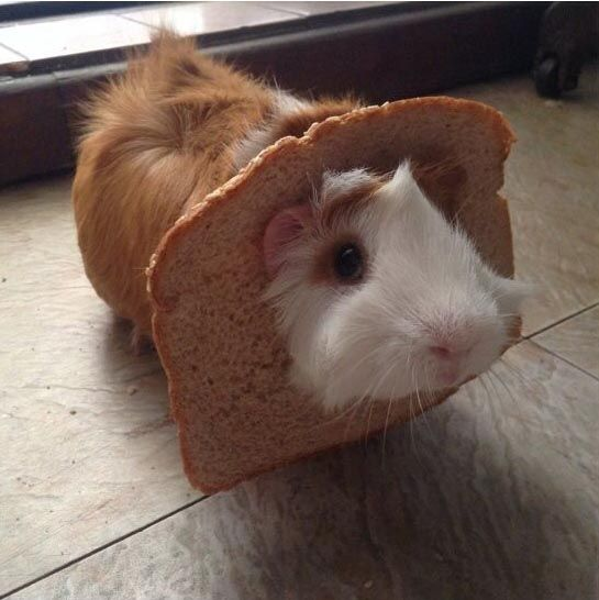 Guinea pig with its head through a piece of bread!