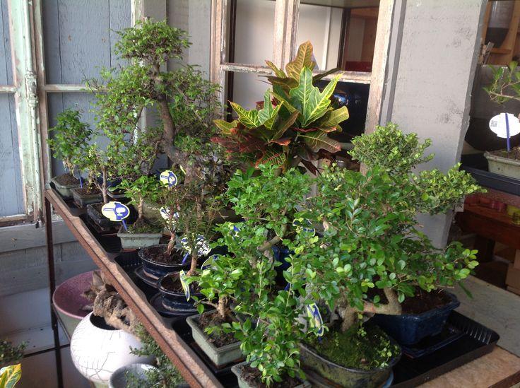 Nieuw vooraad bonsai bomen binnen. Locatie : Weimarstraat 40 DH