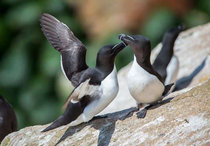 Two Razorbills by Ger O'Brien on 500px