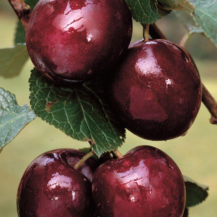 Suklaakirsikka - Viherpeukalot