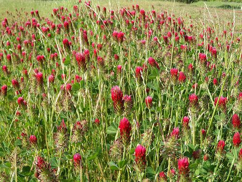 Scientific Name(s):  Trifolium incarnatum  Abundance:  uncommon  What:  seeds, flower  How:  seeds ground into flour, sprouted; flower raw o...
