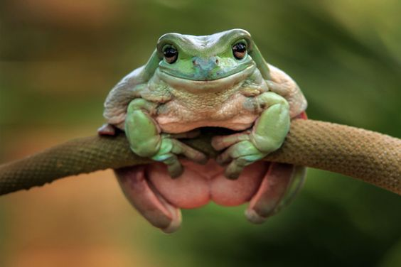 Dumpy Tree Frog (Litoria caerulea)An aptly-named dumpy tree frog clings onto a branch as it attempts to get a comfy seat. Other names include the Australian green tree frog and White's tree frog. This tree frog is native to Australia, Papua New...