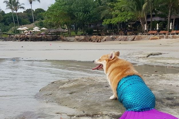This Video Of A Corgi In A Mermaid Tail Is Very Important And Needs Your Attention