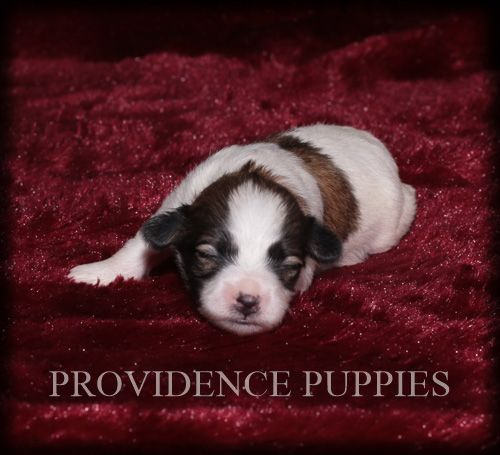 Zuchon Puppy For Sale In Wayland Ia Adn 71406 On Puppyfinder Com