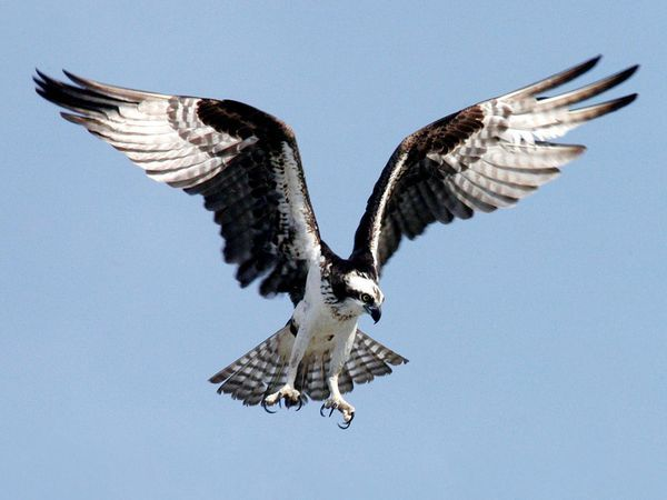 Photo: An osprey preparing to dive