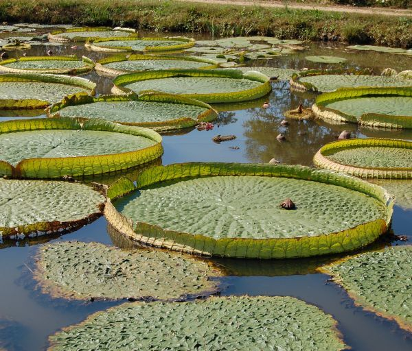 Kenilworth Aquatic Gardens in the morning (see the lilies blooming)