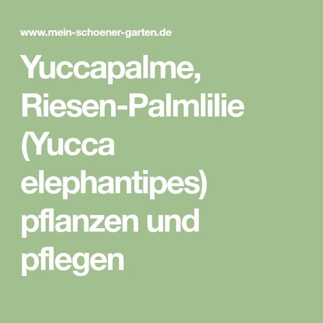 Yuccapalme, Riesen-Palmlilie (Yucca elephantipes) pflanzen und pflegen