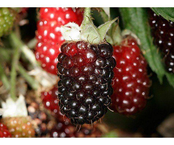 1 Pianta di Lampone Boysenberry - Piante da Frutto