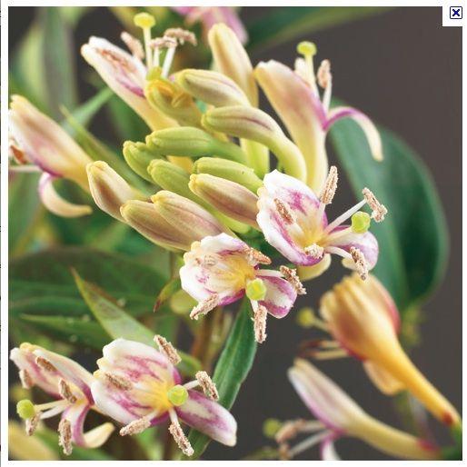 Kamperfoelie henryi 'Copper Beauty' (Kamperfoelie), wintergroen, heerlijk geurend, zeer bruikbaar, bloei mei- aug
