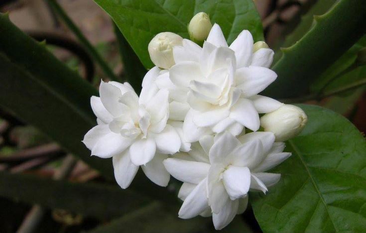 35 best hawaii flowers images on Pinterest | Blüten, Schöne blumen ...