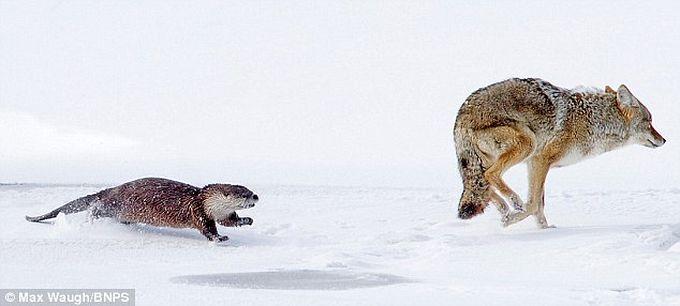 Выдра, которой боятся даже койоты