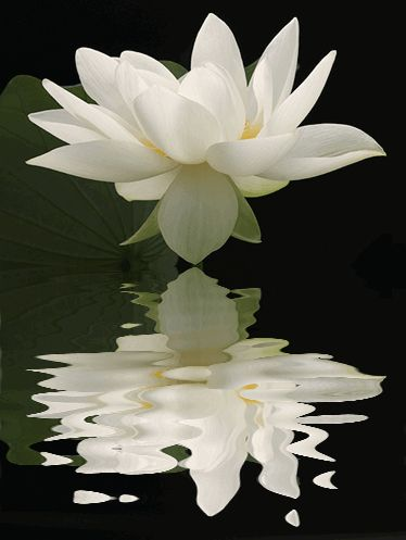 Lotus Flower Reflections / nature / white / black / flower / - IMG_1724-refl - , ハスの花, 莲花, گل لوتوس, Fleur de Lotus, Lotosblume, कुंद, 연꽃, by Bahman Farzad, via Flickr