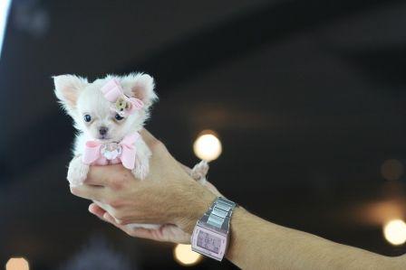 Chihuahua!