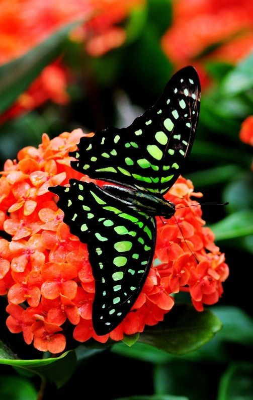 Green and Black Butterfly Perched on Orange Red Flowers on Black Background