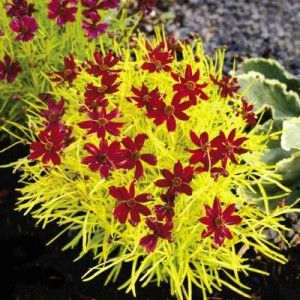 Coreopsis, Cherry Lemonade - Would like to get this. - Lighting: sun