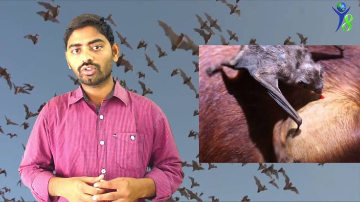 True Facts About The Bats / History In Telugu / Mammals / గబ్బిలాలకు మను...