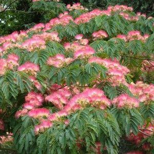 Albizia julibrissin Ombrella - Arbre de soie