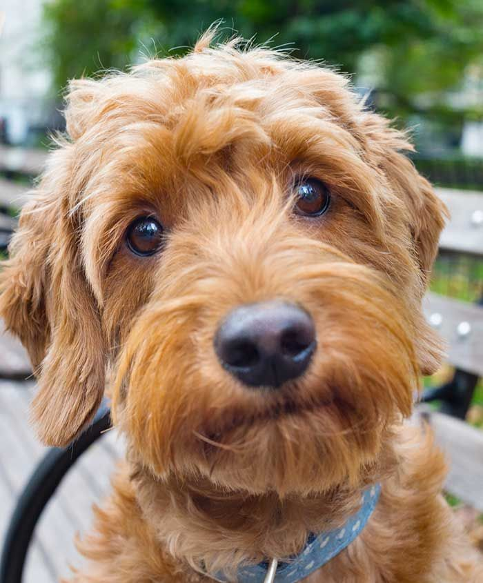 Haircuts For Goldendoodles Pictures: 551 Best Doodle Grooming Images On Pinterest