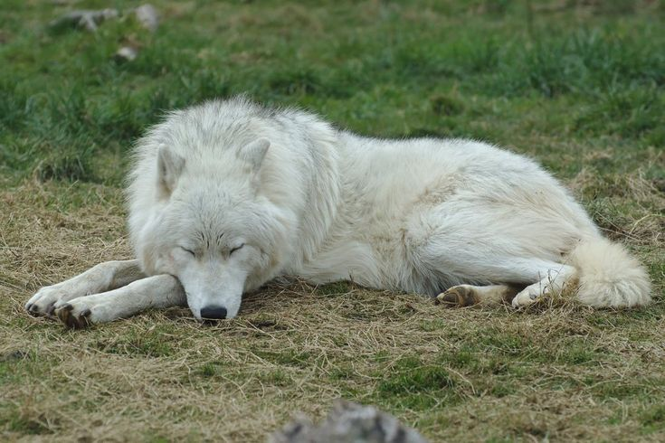 Sleeping Arctic Wolf Stock 20130401-1 by FurLined on DeviantArt
