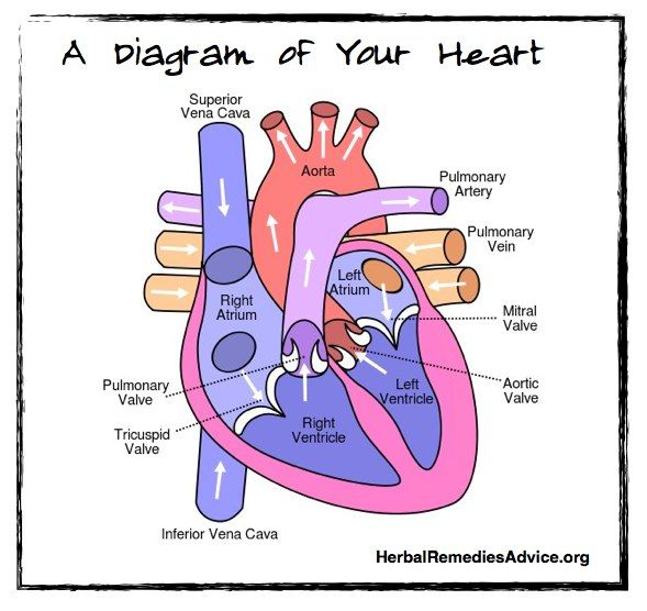 heart parts and function pdf