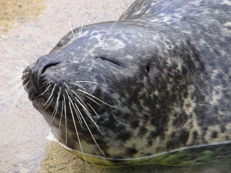 Seal at Como Zoo, St. Paul