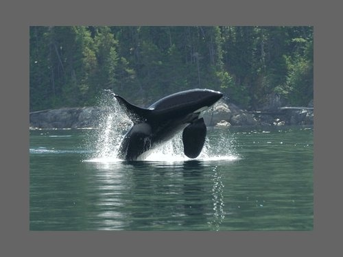 -- Orca jumping, photo caught on a trip with Aboriginal Journeys! Check out the website http://www.aboriginaljourneys.com to see more pictures/videos! Or if you're ever in the area, book a tour!!!