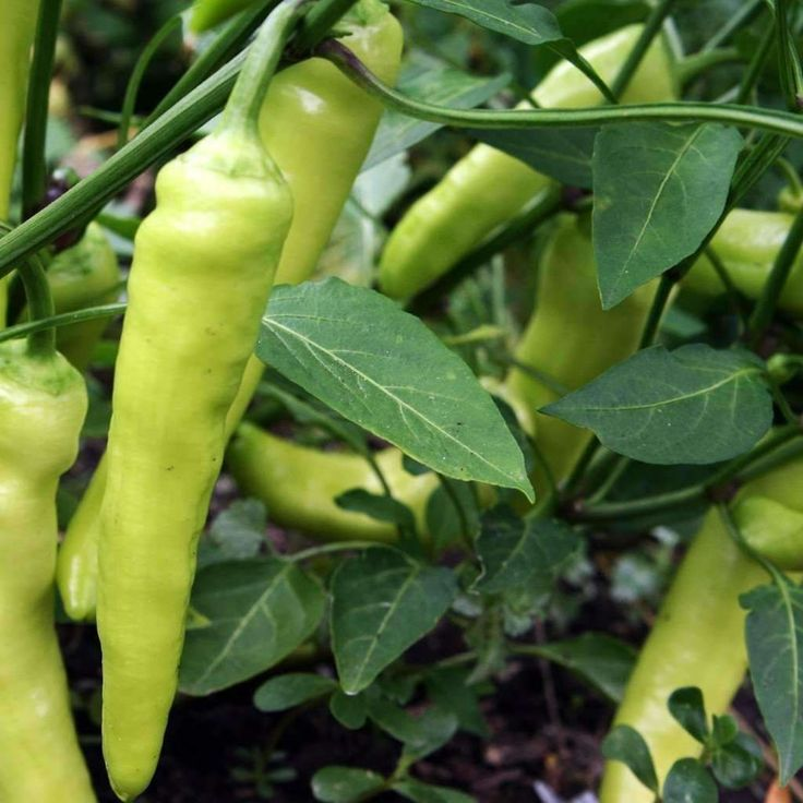 Seeds for Pepper (sweet) 'Sweet Banana' - (Capsicum annuum) – Amkha Seed