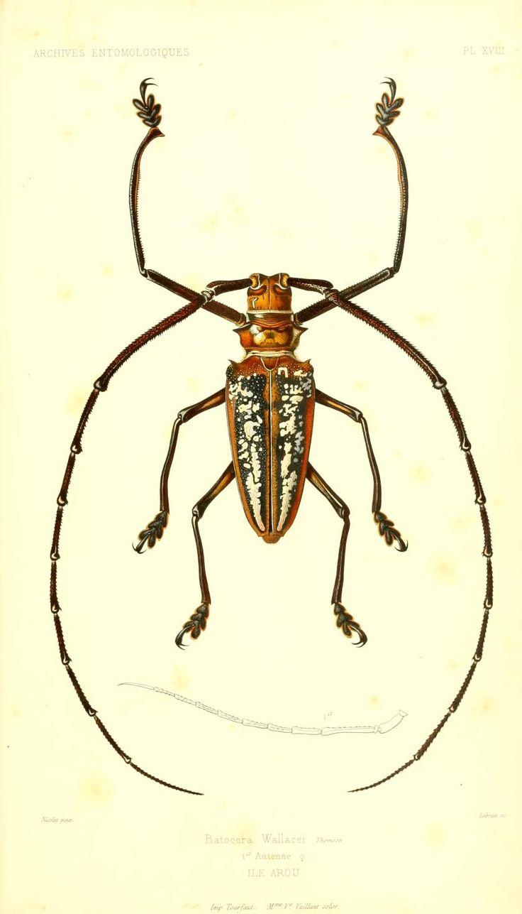 beetle illustration (Archives entomologiques, ou, Recueil contenant des…