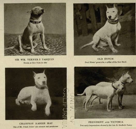Bull terriers 1905. Vintage models! They really have changed a lot. But then the breed was really new here.