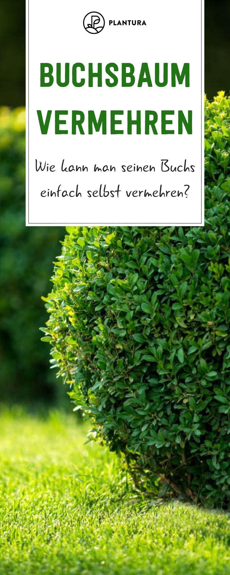 Buchsbaum Vermehren