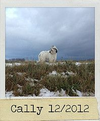 PON Cally (Lutz IGIEL lugfoto.net) Tags: dog dogs tiere sheepdog hund hunde pon htehunde polishlowlandsheepdog htehund poliskiowczareknizinny