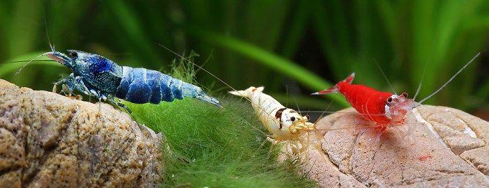 Gambas acuario: Los gambarios
