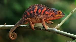 Znalezione obrazy dla zapytania chameleon animals