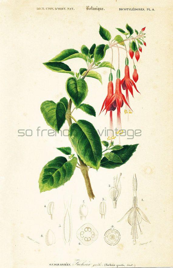 1861 fuchsia orbigny planche originale couleurs peintes for Plante originale