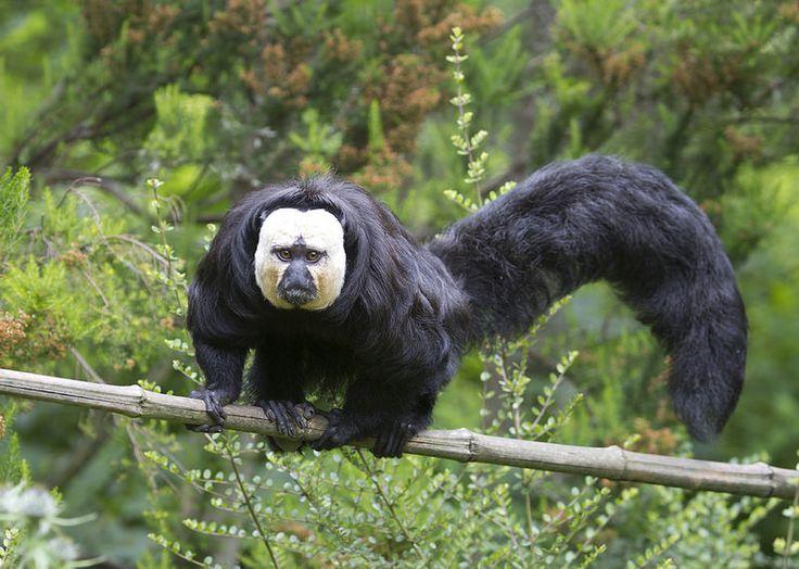 White faced Saki monkey. Getty Images.