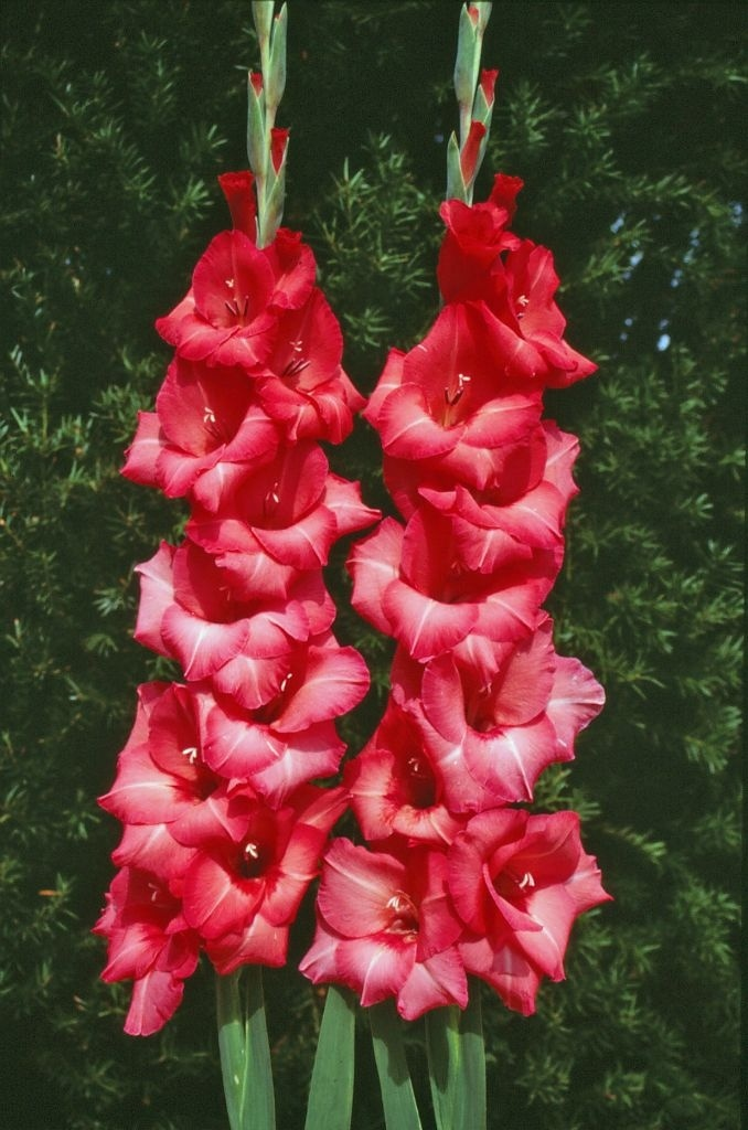 103 Best Gladiolus Images On Pinterest Gladioli