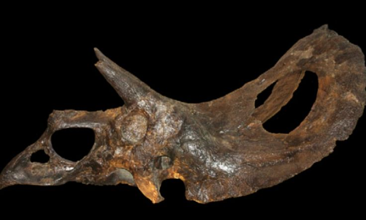 Prepare to throw away those old plastic dinosaurs : Triceratops wasn't one dinosaur - it was TWO separate species #DailyMail