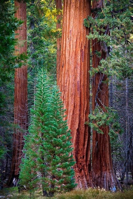 "analysis of planting a sequoia Planting a sequoia essay sample bla bla the actions taken to plant a sequoia tree is parallel to the actions of a an analysis of ""the pasture"" by."