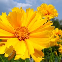 Many coreopsis bloom from early summer through late fall. #gardening