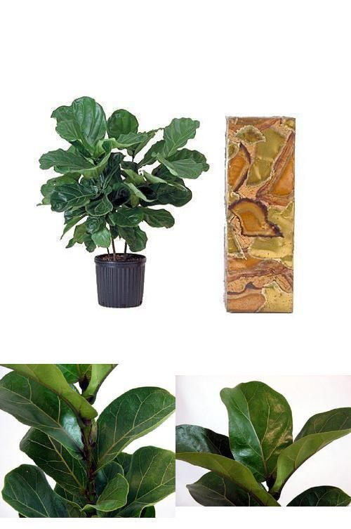 "Plant Fiddleleaf Fig Tree Ficus Indoor Tree 6""Pot Easy to Grow House Best Gift #Gardens #Custom"
