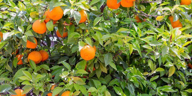 Een echteSpaanse klassieker is natuurlijk de sinaasappelboom. Ook deze moet in Nederland 's winters binnen, maar in de zomermaanden doet hij het heel goed buiten. Doe snel mee en win één van deze sinaasappelbomen. Winnen! Margriet mag vijf sinaasappelbomen weggeven. Ook kans maken? Vul dan vóór 18 juni onderstaand winformulier in! Artikelen van Margriet.nl ontvangen…