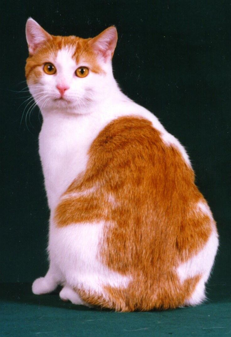 Orange And White Cymric Sitting.    Cymric Cat is a breed of domestic cat. Some cat registries consider the Cymric Cat simply a semi-long-haired variety of the Manx breed, rather than a separate breed.  #Cymric #Cat #Breed #CymricCat #CymricKittens