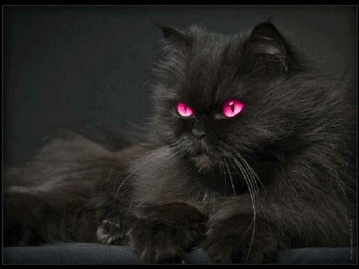 Black Cat With Pink Scary Eyes: PINK EYES BLACK CAT