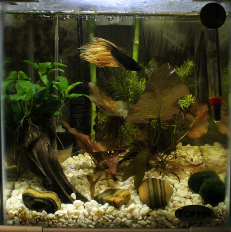 1000 images about betta habitats on pinterest aquarium for Betta fish habitat