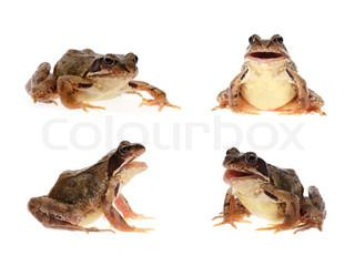 Photo set of common european frog , crawling and with open mouth as if it is singing , speaking or croaking