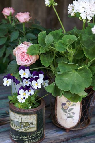 old fashioned geraniums, violets, roses in vintage cans