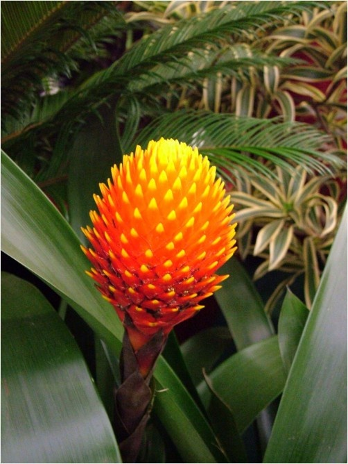 guzmania, Flowers, pineapple, Extravaganza, SouthAmerica, tropical, Forests