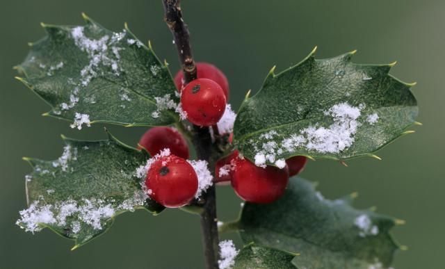 Holly shrubs display remarkable diversity. There are deciduous and evergreen types of Ilex, red-berried and black-berried types, and a variety of different forms.