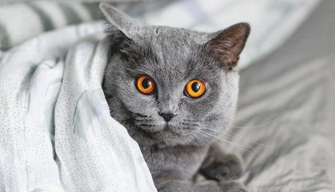 The Chartreux Grey Breed Beautiful Cathttps Imgur Com Qk8ztzv Grey Cat Breeds Pretty Cats British Shorthair Cats