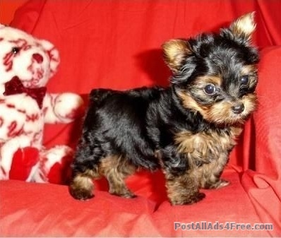how to train a yorkie to sit